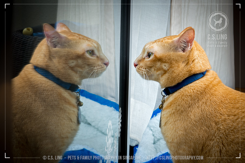 Bob's Reflection - Singapore Cat Photography