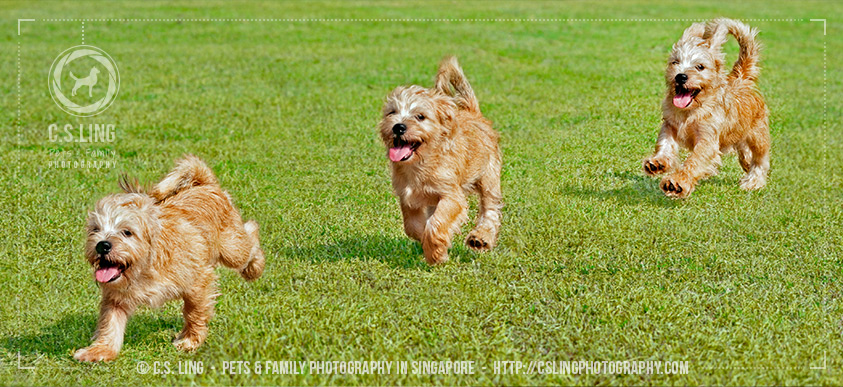 Schnau-Tzu running - Dog Photography Singapore- C.S.Ling Photography