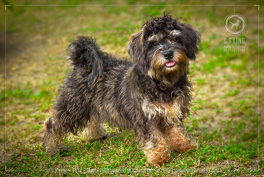 Cute Schnau-Tzu puppy -Dog Photography in Singapore - C.S.Ling Photography
