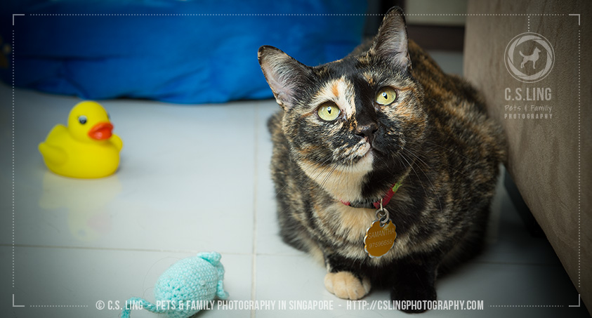 Sam with toys - Singapore Cats Photography