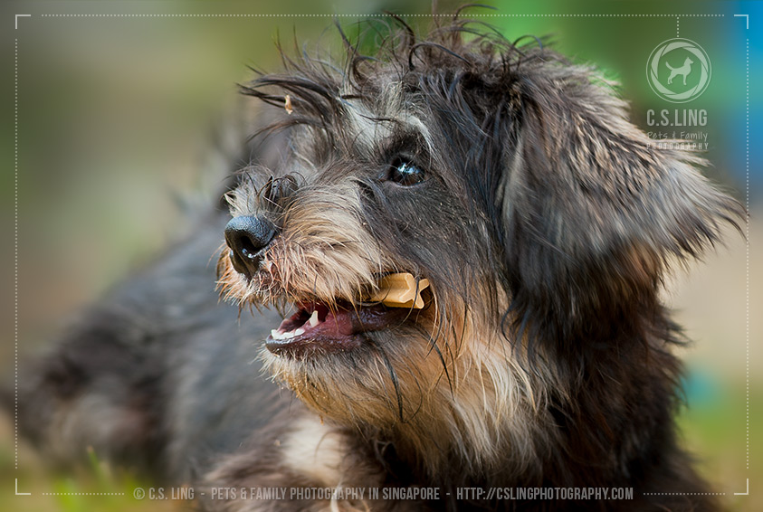 Schnau-Tzu with treats -Dog Photography in Singapore - C.S.Ling Photography