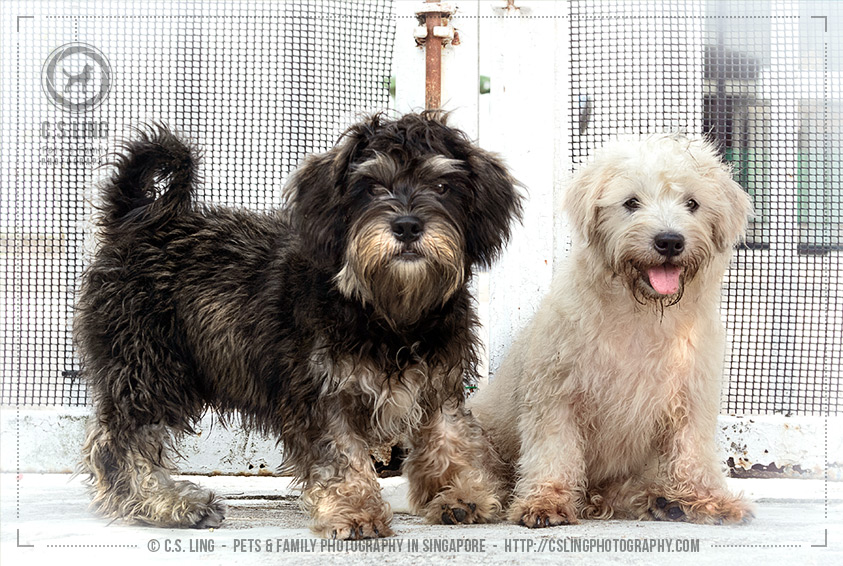 Schnau-Tzu puppies -Dog Photography in Singapore - C.S.Ling Photography