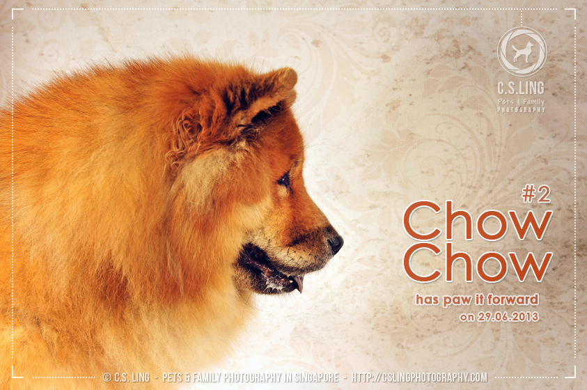 Chow Chow at C.S.Ling Dog Photography in Singapore