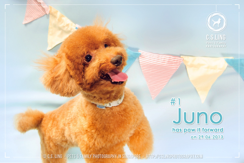 Juno the Red Toy Poodle - C.S.Ling Pet Photography in Singapore