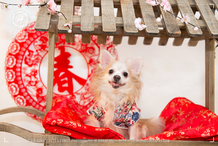 Chihuahua Chinese New Year Singapore Pet Photo