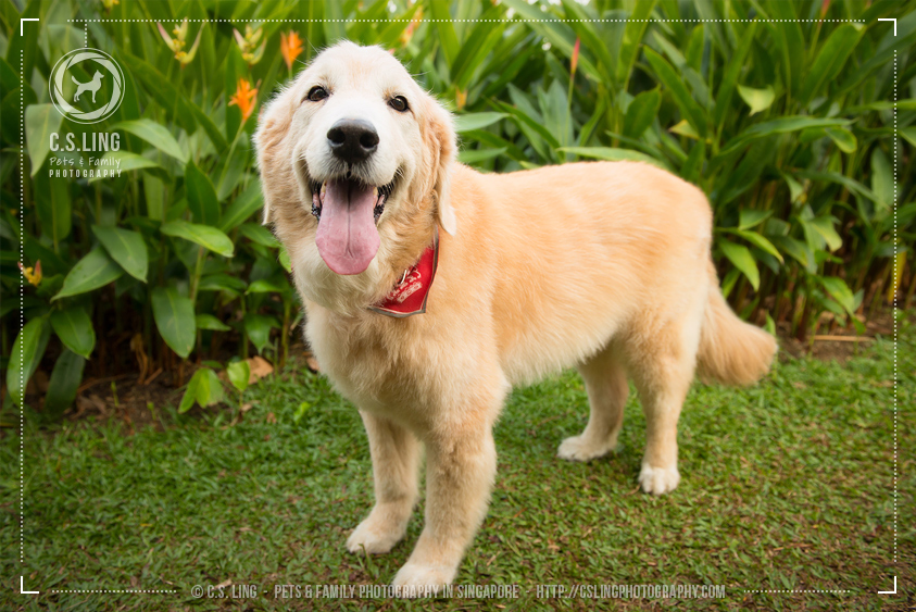 Golden Retriever Singapore Pet Photo