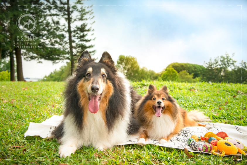 Shetland-Sheepdog-Collie-Singapore-Pet-Photographer_1