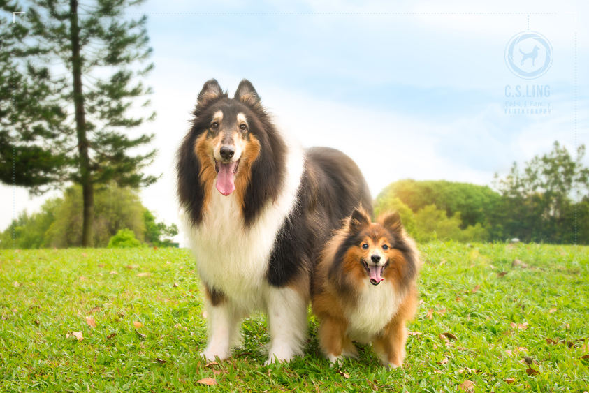 Shetland-Sheepdog-Collie-Singapore-Pet-Photographer_2