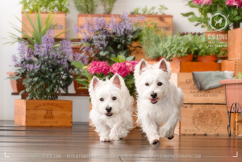 csling-west-highland-white-terrier-running-photo