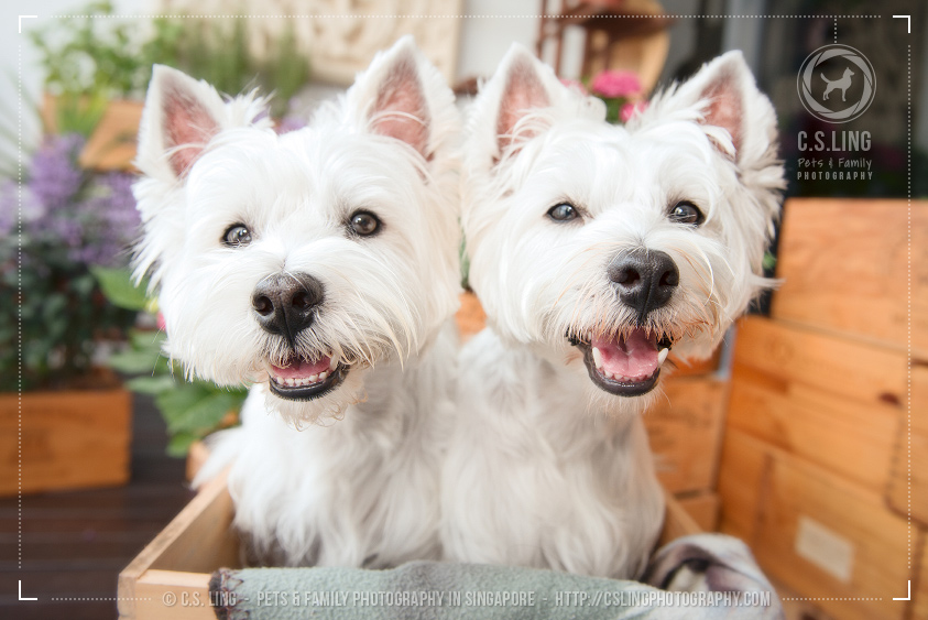 csling-westie-photo-dog-photography