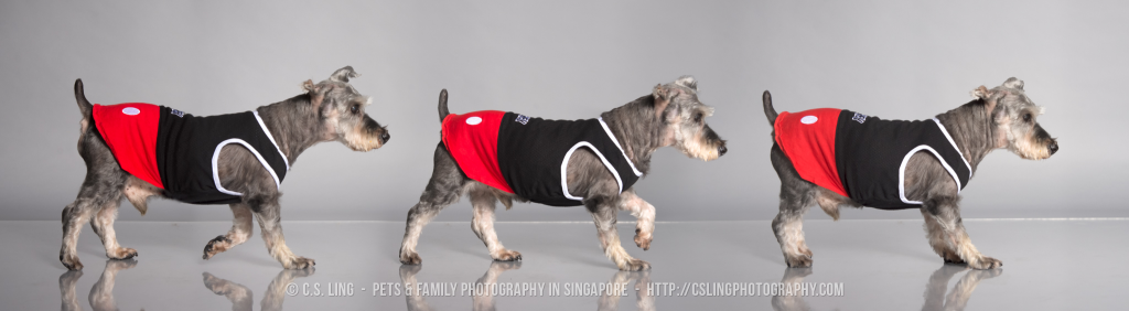 Schnauzer Singapore Dog Photos