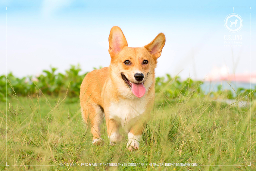 Boski the Corgi Singapore Dog