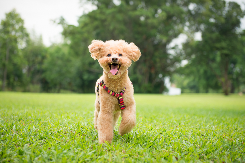 Poodle Singapore dog photography