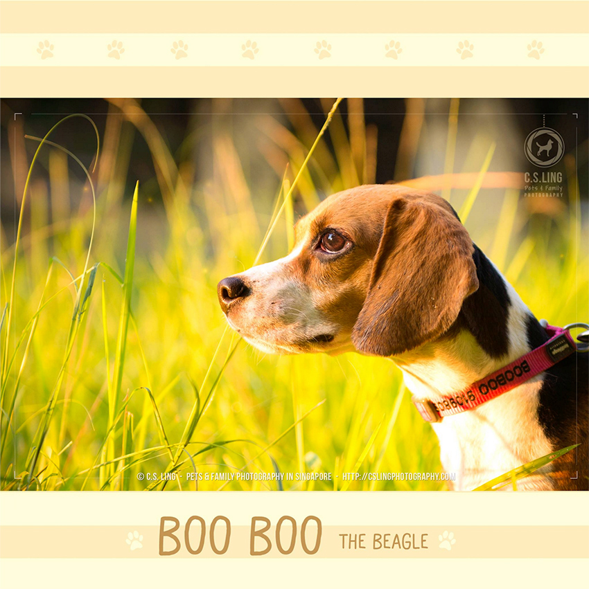 Beagle Singapore Pet Photography