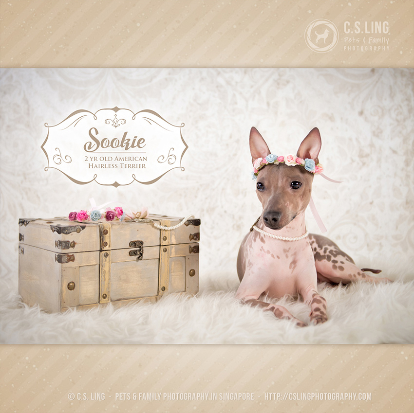 American Hairless Terrier by C.S.Ling Photography