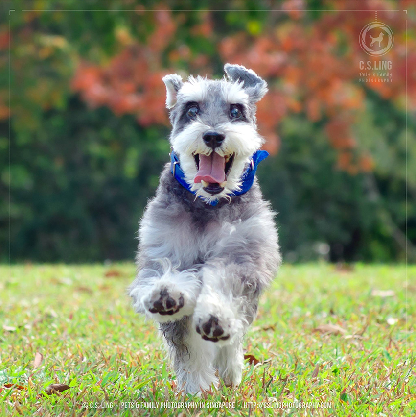 C.S.Ling Photography Schnauzer Outdoor Session