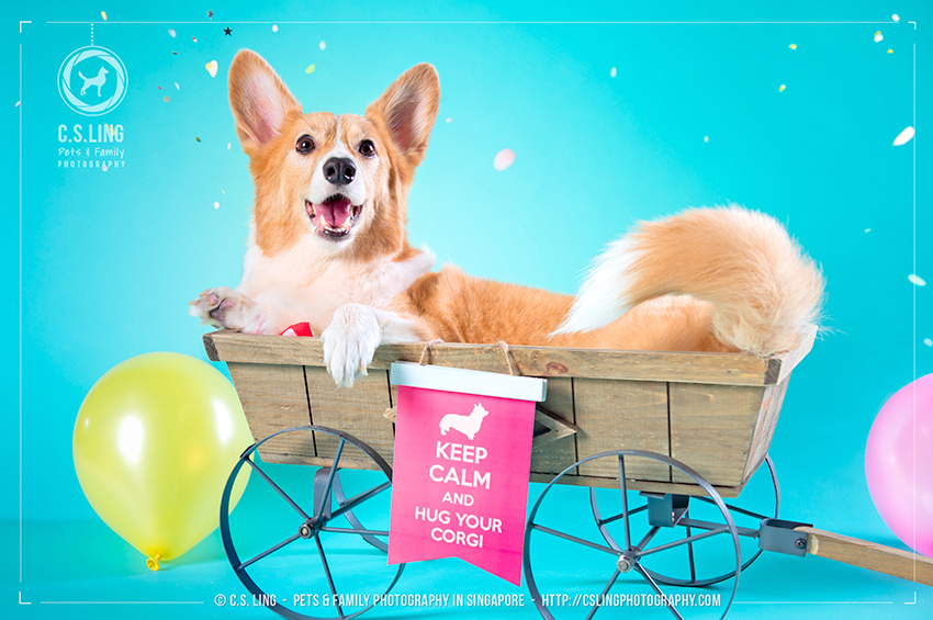 Singapore Corgi Barkday Birthday by C.S.Ling