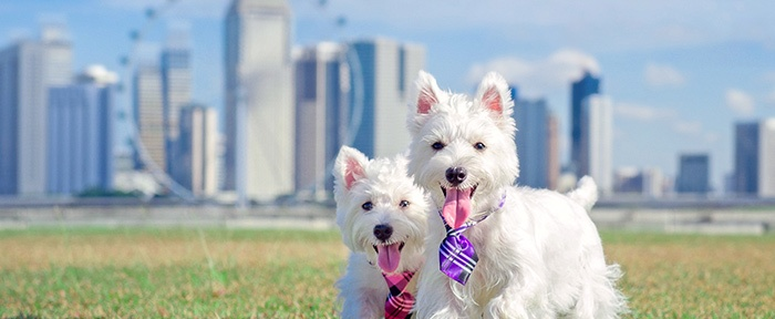 West Highland White Terrier Westie Puppies by C.S.Ling