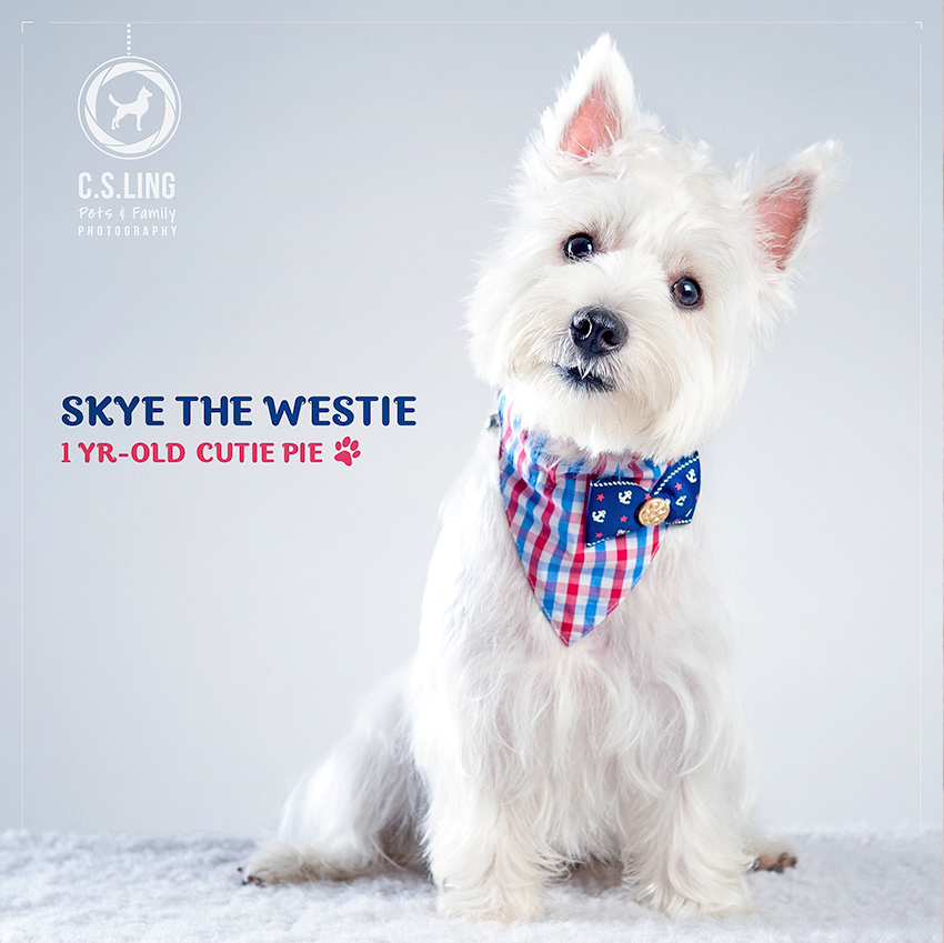 Westie Puppy in Studio by C.S.Ling Dog Photography