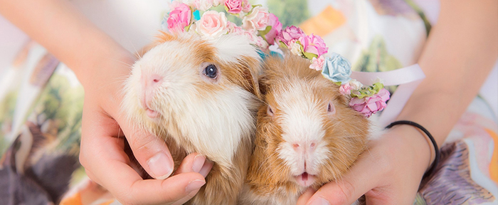Guine Pigs Pet Photography